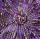 purple a 269-9